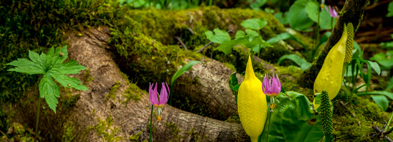 Fawn Lily and Skunk Cabbage