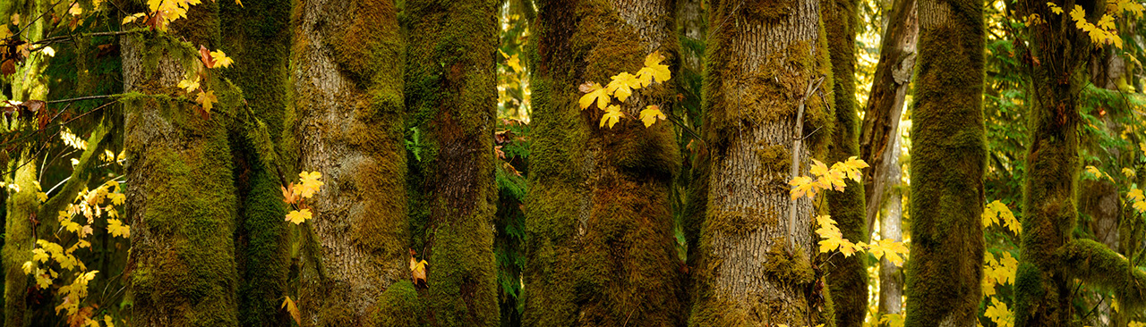 Moss covered maple tree trunks
